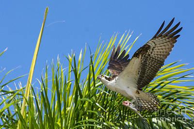 Ospreys Wall Art - Photograph - Flight Through The Palms by Quinn Sedam