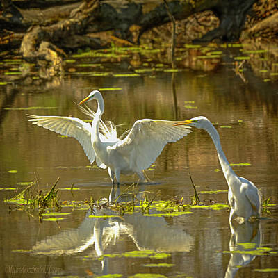 Chicago Photograph - Flirting Egrets by LeeAnn McLaneGoetz McLaneGoetzStudioLLCcom