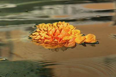 Photograph - Floating Beauty - Hot Orange Chrysanthemum Blossom In A Silky Fountain by Georgia Mizuleva