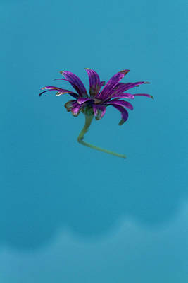 Photograph - Floating Blue by Guy Shultz