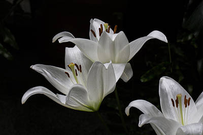 Photograph - Floating Easter Lilies by John Haldane