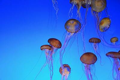 Photograph - Floating Jellyfish Ballet by Marilyn MacCrakin