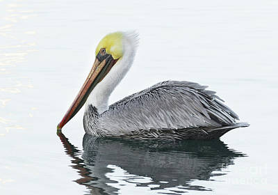 Photograph - Floating Pelican by Alice Cahill