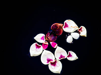 Photograph - Floating Petals by Robin Zygelman