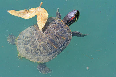 Photograph - Floating Turtle by Shoal Hollingsworth