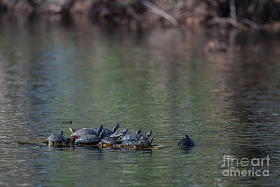 Photograph - Floating Turtles by Dale Powell