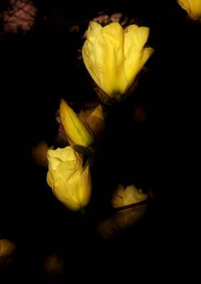 Photograph - Floating Yellow Magnolia Blossoms by Karen Silvestri
