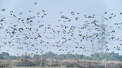 Lapwing Wall Art - Photograph - Flock Of Beautiful Migratory Lapwing Birds In Clear Winter Sky by Matthew Gibson