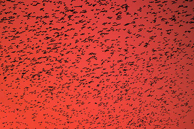 Starlings Mixed Media - Flock Of Birds Swarming On Orange Sky. by Yaroslav Veretin