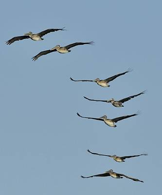 Photograph - Flock Of Brown Pelicans by Bradford Martin