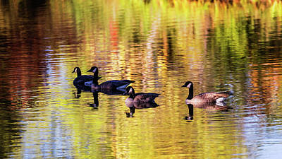 Photograph - Flock Of Canada Geese In A Pond by Vishwanath Bhat