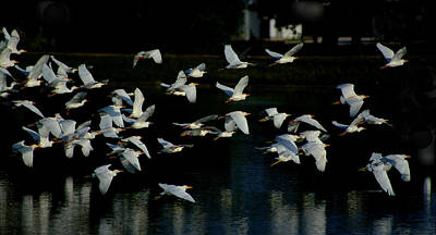 Photograph - Flock Of Cattle Egrets In Flight Over The Lake by Roy Williams