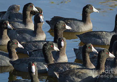 Photograph - Flock Of Coots by David Cutts
