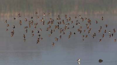 Photograph - Flock Of Dunlin by David Watkins