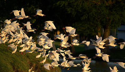 Flock Of Egrets And Herons In Flight Art Print by Roy Williams