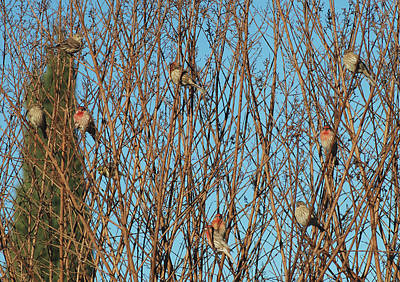 Photograph - Flock Of Finches by Lawrence Pratt