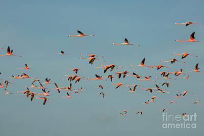 Photograph - Flock Of Flamingoes by Patricia Hofmeester