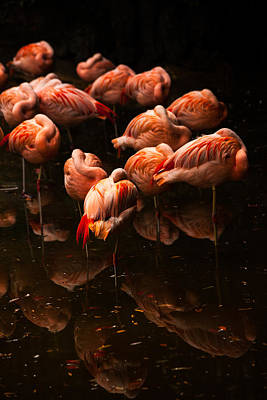 Photograph - Flock Of Flamingos by Karol Livote