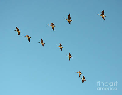 Photograph - Flock Of Geese Migration Flying In Formation by Shawn O'Brien