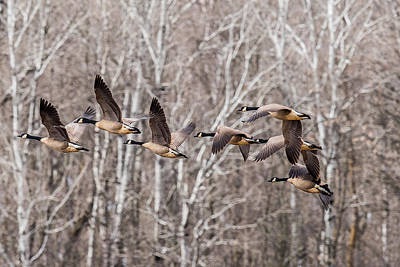 Ganders Photograph - Flock Of Geese by Paul Freidlund