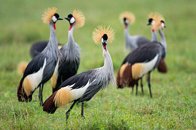 Flock Of Grey Crowned Cranes Balearica Art Print by Panoramic Images