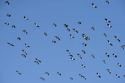 Lapwing Wall Art - Photograph - Flock Of Migratory Lapwing Birds In Clear Winter Sky by Matthew Gibson