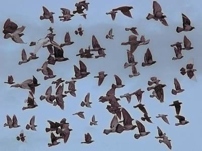 Photograph - Flock Of Pigeons by Bill Kellett