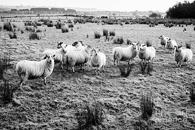 Flock Of Sheep In A Field Ballymena, County Antrim, Northern Ireland, Uk Art Print