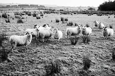 Ballymena Photograph - Flock Of Sheep In A Field Ballymena, County Antrim, Northern Ireland, Uk by Joe Fox