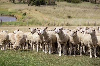 Photograph - Flock Of Sheep by K Pegg