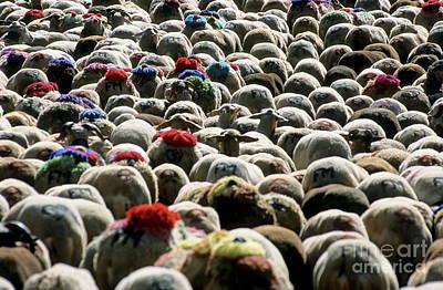 Flock Of Sheep Leaving Esperou Village For  Transhumance Art Print