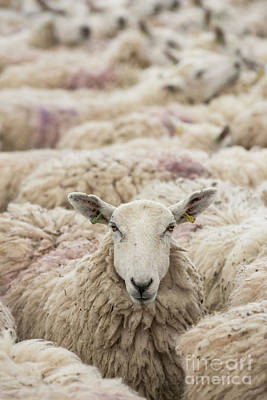 Photograph - Flock Of Sheep by Tim Gainey
