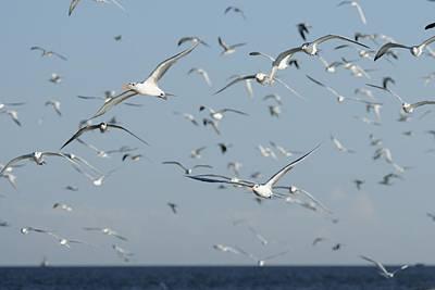 Photograph - Flock Of Terns In Flight by Bradford Martin