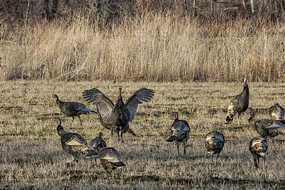 Photograph - Flock Of Wild Turkeys by Belinda Greb