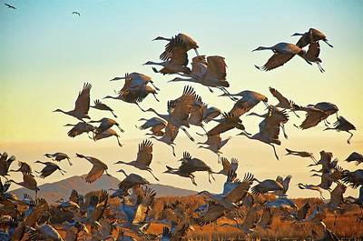 Photograph - Liftoff, Sandhill Cranes by Flying Z Photography by Zayne Diamond