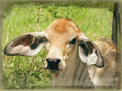 Photograph - Floppy A Brahman Cow by Ella Kaye Dickey