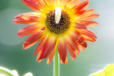 Gerbera Daisy Photograph - Flopsy In The Snickerhaus Garden by Christine Belt