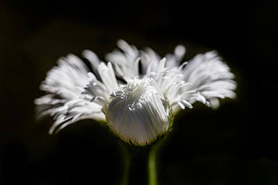 Photograph - Floral Chiaroscuro by Steven Schwartzman