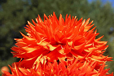 Photograph - Floral Orange Dahlia Flowers Art Prints by Baslee Troutman Floral Fine Art Prints