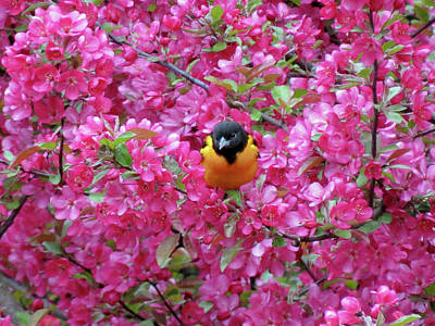 Photograph - Floral Oriole 1 by MTBobbins Photography
