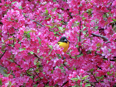 Photograph - Floral Oriole 2 by MTBobbins Photography