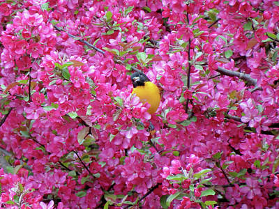 Photograph - Floral Oriole 3 by MTBobbins Photography