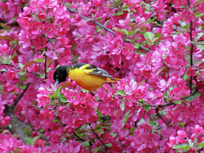 Photograph - Floral Oriole 4 by MTBobbins Photography