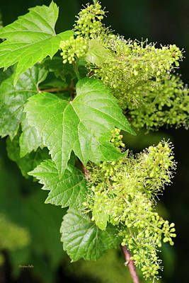 Grape Vine Photograph - Floral With Green Leaves by Christina Rollo