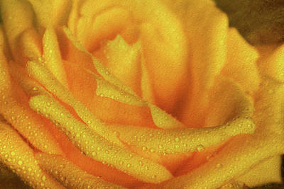 Print featuring the photograph Floral Yellow Rose Blossom by Shelley Neff