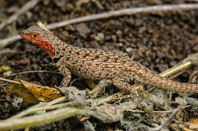Photograph - Floreana Lava Lizard by Harry Strharsky
