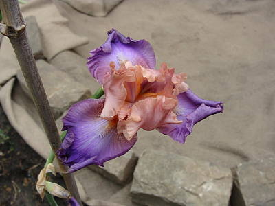 Photograph - Florentine Silk Iris by Anthony Seeker