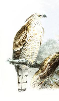Drawing -  Flores Hawk-eagle  by John Gerrard Keulemans