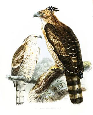 Drawing - Flores Hawk-eagles by John Gerrard Keulemans