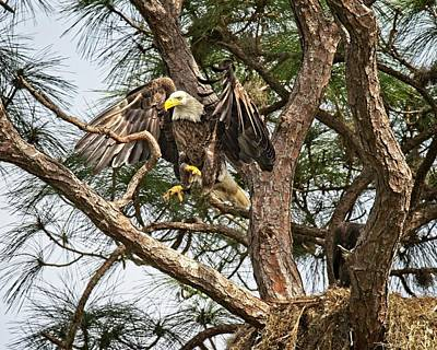 Photograph - Florida Adult Bald Eagle  by Ronald Lutz